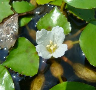 Цветок, вода, листья