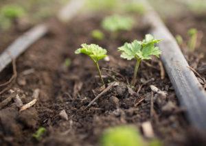 ростки, земля