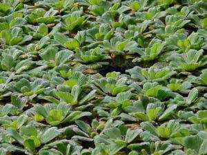 много зеленых растений в пруду