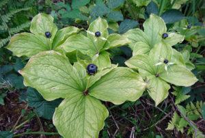 темно-синие ягоды, листья, лес