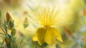 желтый цветок, тычинки