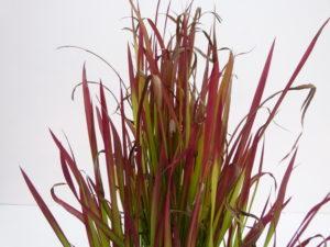 растение с листьями красно-зеленого цвета