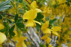 темные зеленые листья, желтые цветки