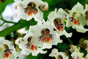 крупные белые цветки с темной серединой