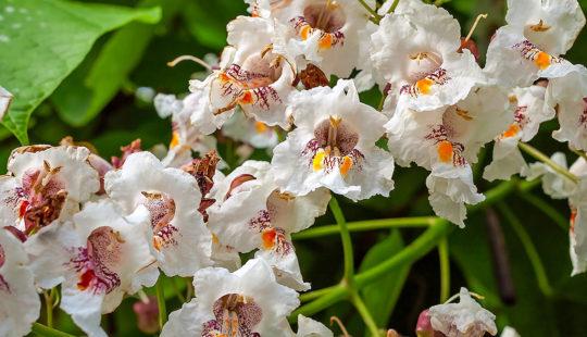 белые цветки с красно-оранжевым центром