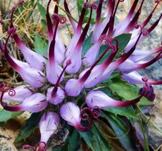белый цветок с фиолетовыми шипами, листья