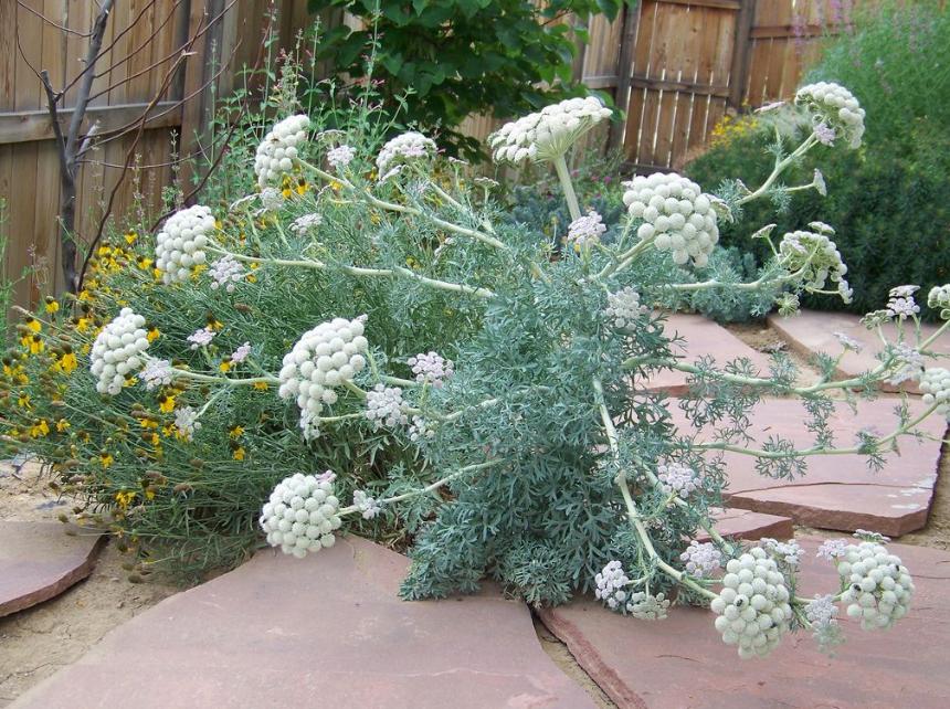 Жабрица выращивание
