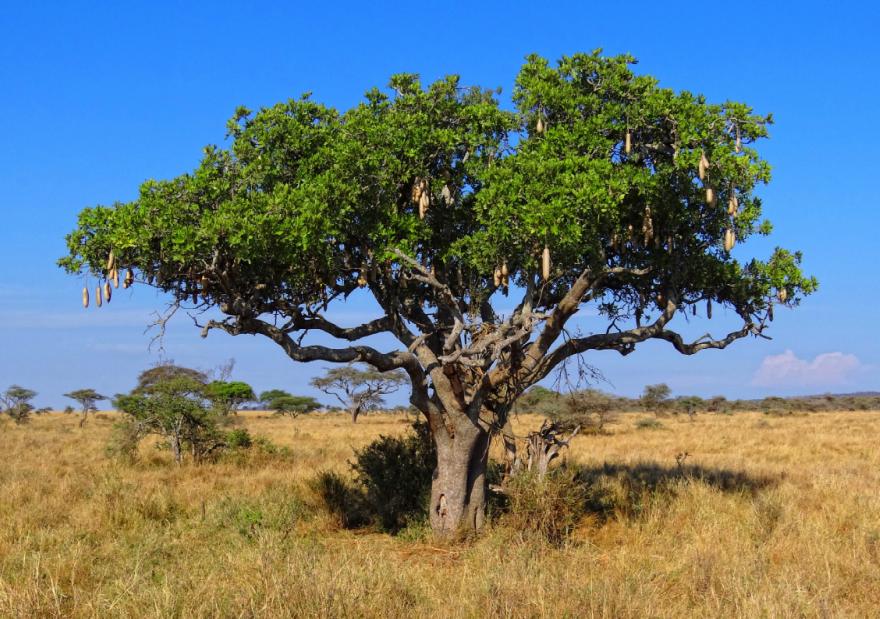 Кигелия африканская