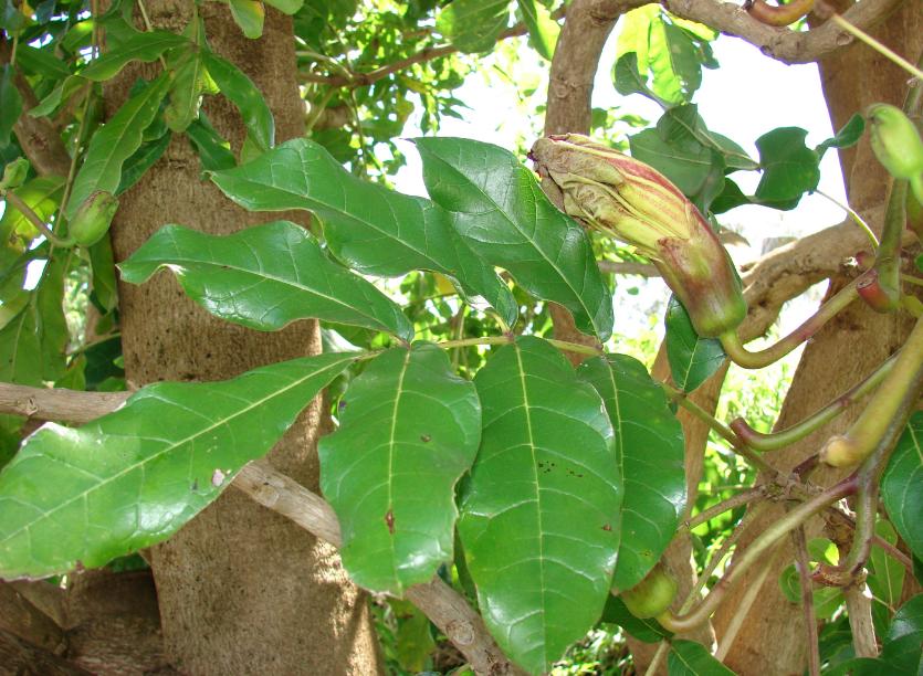 Листья Кигелии от боли при радикулите
