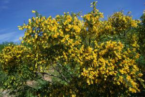 куст с желтыми цветами и маленькими зелеными листьями