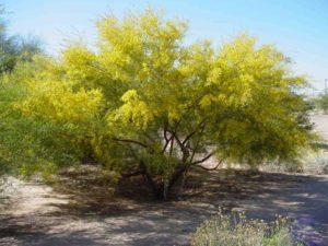 дерево, цветет желтыми цветами