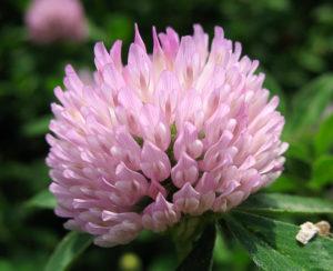 Клевер (лат. Trifolium)