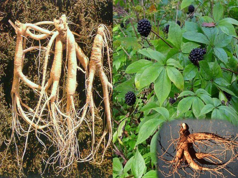 Корневища и корни элеутерококка