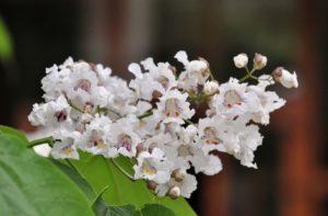 соцветие, белые цветки, листья