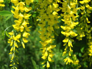 желтые цветы, зеленые листья