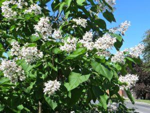 дерево с белыми цветами, зеленые листья, небо