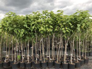 молодые деревья, кадки