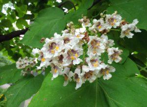 соцветие с белыми цветками, зеленые листья