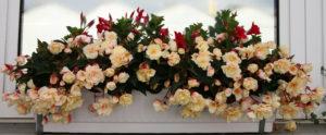 бежевые цветы на подоконнике