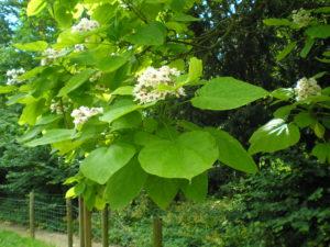 дерево, крупные зеленые листья, белые цветки