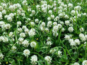 белые цветы, луг, зеленые листья