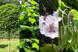 цветок, стручки, листья