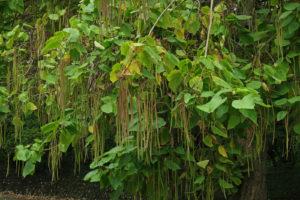 дерево с крупными зелеными листьями, стручки
