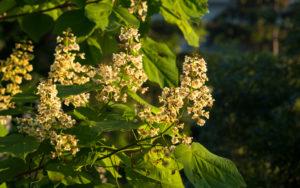 дерево с мелкими цветками, листья