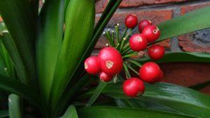красные плоды, листья