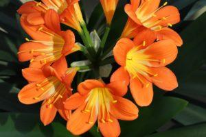 оранжевые цветы с желтой серединой