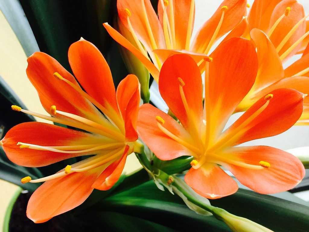 оранжевые крупные цветы, листья