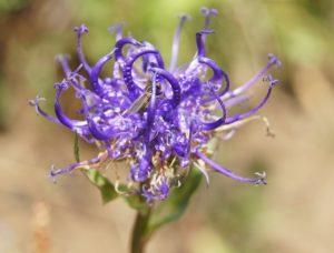 синий цветок, стебель