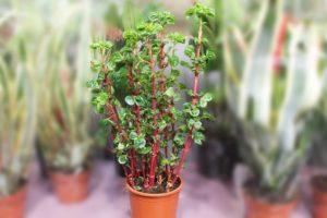 зеленое растение с красным стеблем в горшке