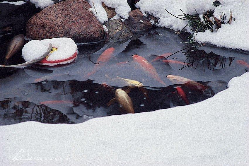 Уход за рыбой в водоеме зимой