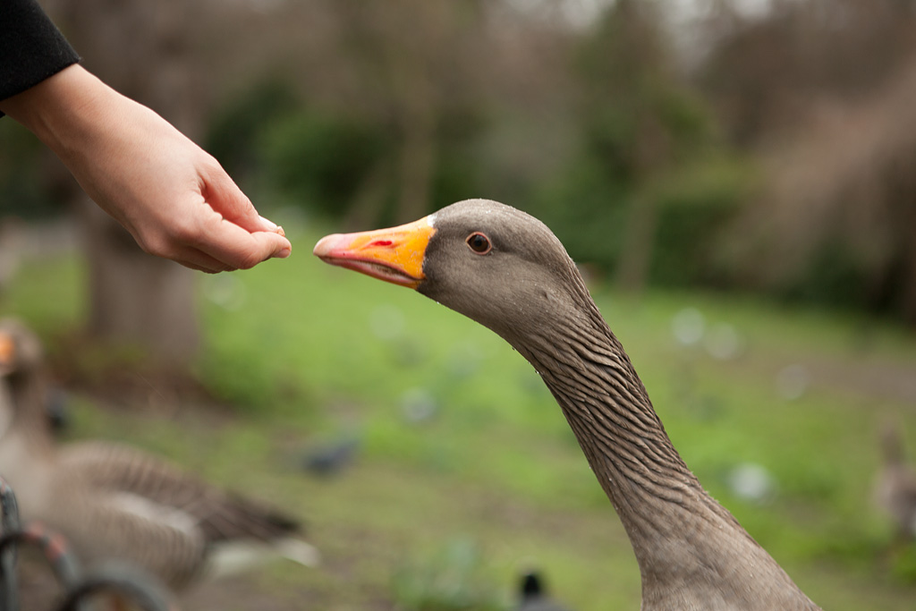 Домашние гуси-лебеди