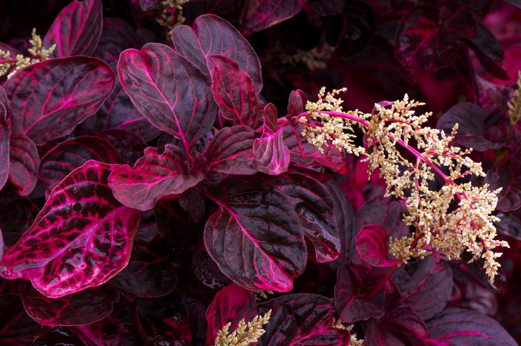 цветок с бордовыми листьями, мелкие белые цветки