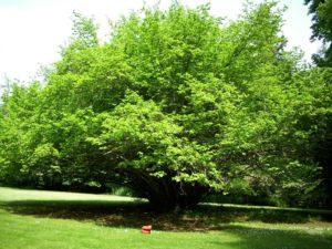 дерево, сад