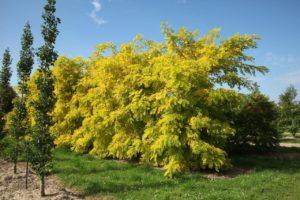 сад, дерево цветет желтыми цветами