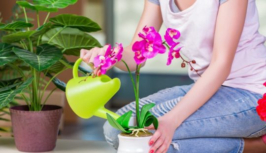 Как правильно поливать орхидею
