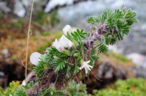 ветки с розовыми цветками, пушистыми зелеными листьями