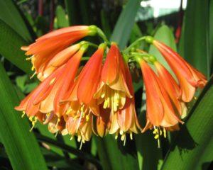 нераспустившиеся оранжевые цветы, листья