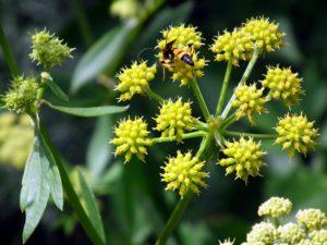 желтые цветы, стебель, листья, жучок
