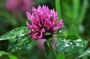 сиреневый цветок, капли, листья