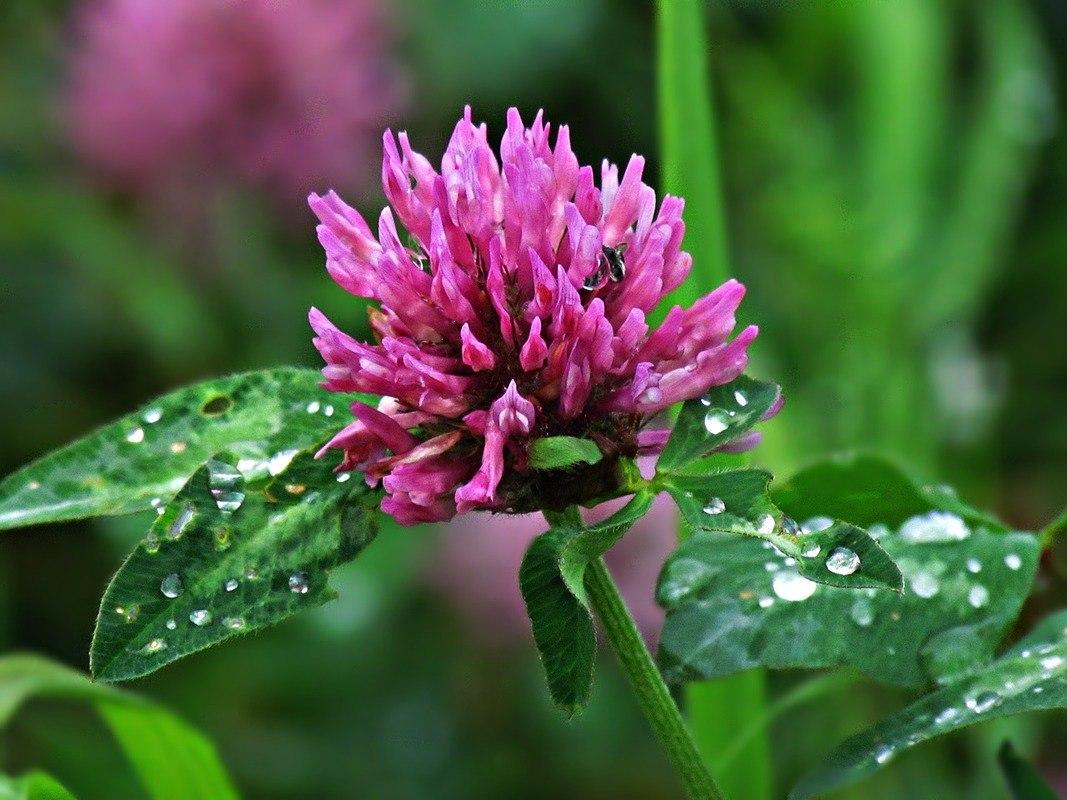 Растение Клевер описание и его свойства