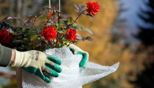 розы, руки в перчатках