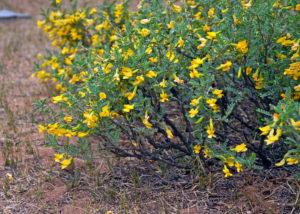 почва, кустарник с мелкими желтыми цветками, маленькими желтыми листьями