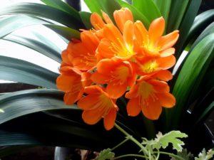 оранжевые цветы, темные зеленые листья