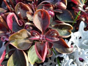темно-красные листья с зеленым