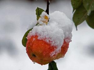 яблоко, снег, ветки, листья