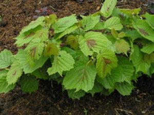 Куст, листья, почва